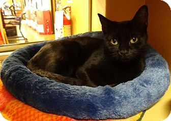Domestic Shorthair Cat for adoption in Manhattan, Kansas - Liberty