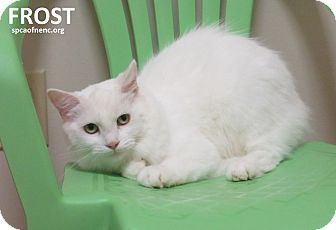 Domestic Mediumhair Cat for adoption in Elizabeth City, North Carolina - Frost