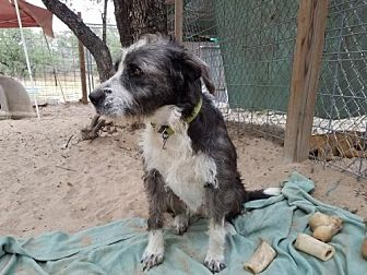 Old English Sheepdog/Wirehaired Pointing Griffon Mix Dog for adoption in San Antonio, Texas - Emma