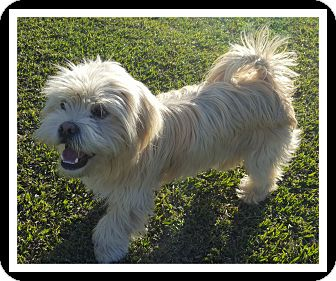 Lhasa Apso Mix Puppy for adoption in Winchester, California - CHARLIE