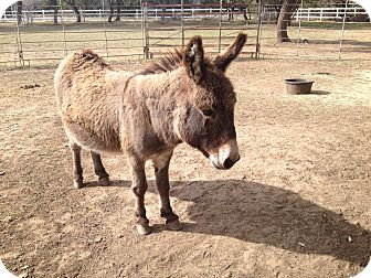 Donkey/Mule/Burro/Hinny/Miniature Mix for adoption in Austin, Texas - Little Bob