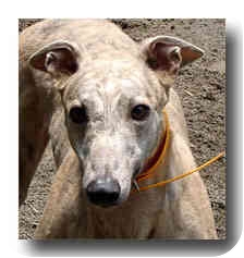 Greyhound Dog for adoption in Roanoke, Virginia - Slinger
