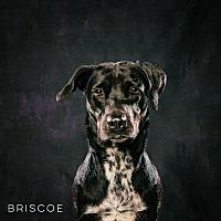 Labrador Retriever/Hound (Unknown Type) Mix Dog for adoption in Houston, Texas - Briscoe
