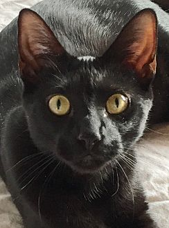 Domestic Shorthair Kitten for adoption in Harrison, New York - Danny and Robby