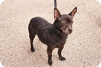 Terrier (Unknown Type, Small) Mix Dog for adoption in Muskegon, Michigan - Penny