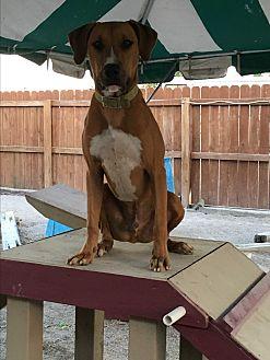 Hound (Unknown Type)/Boxer Mix Puppy for adoption in Evansville, Indiana - Mickey