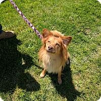 Adopt A Pet :: Fox - East Smithfield, PA
