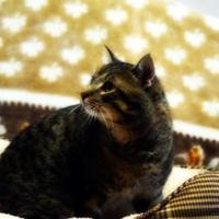 Domestic Shorthair/Domestic Shorthair Mix Cat for adoption in North Battleford, Saskatchewan - Sir Regenald