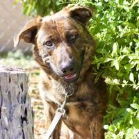 Australian Shepherd/Black Mouth Cur Mix Dog for adoption in LaBelle, Florida - Zeus