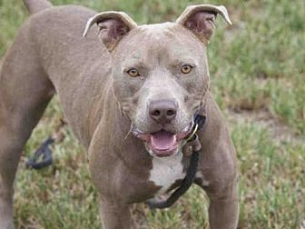 Pit Bull Terrier Dog for adoption in Los Angeles, California - ABIGAIL