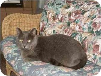 Domestic Shorthair Cat for adoption in Bloomsburg, Pennsylvania - Smokey