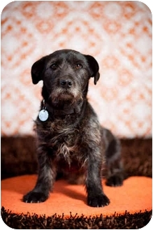 Basset Hound/Scottie, Scottish Terrier Mix Dog for adoption in Portland, Oregon - Franklin