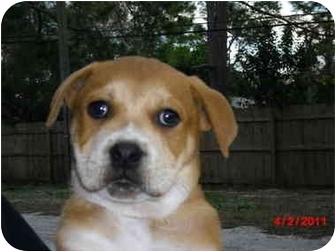 Retriever (Unknown Type)/Chow Chow Mix Puppy for adoption in Odessa, Florida - GORDO