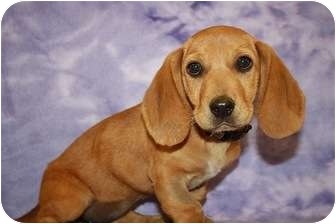 Hound (Unknown Type)/Beagle Mix Puppy for adoption in Broomfield, Colorado - Gemini