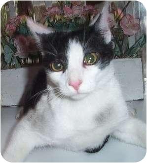 Domestic Shorthair Cat for adoption in Columbia, South Carolina - Ajax