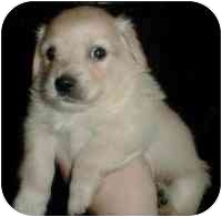Spaniel (Unknown Type) Mix Puppy for adoption in San Diego/North County, California - Gunther