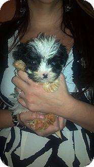 Shih Tzu/Schnauzer (Miniature) Mix Puppy for adoption in Hazard, Kentucky - Fluffy