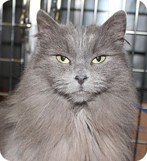 Domestic Longhair Cat for adoption in Grants Pass, Oregon - Silverbell