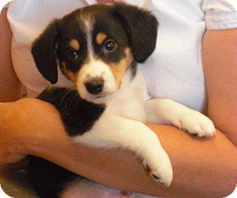 Sheltie, Shetland Sheepdog/Beagle Mix Puppy for adoption in Wickenburg, Arizona - Skip