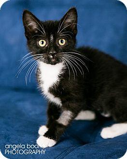 Domestic Shorthair Kitten for adoption in Eagan, Minnesota - Moira