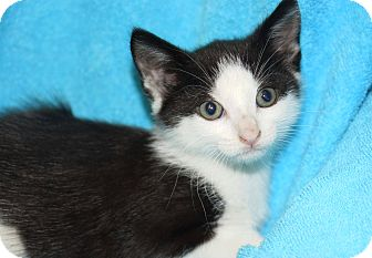 Domestic Shorthair Kitten for adoption in Berlin, Connecticut - Zunieko