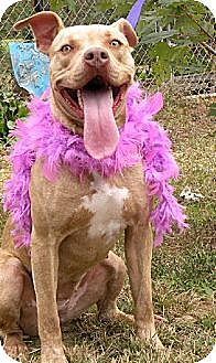 Pit Bull Terrier Mix Dog for adoption in Elizabeth City, North Carolina - Champagne