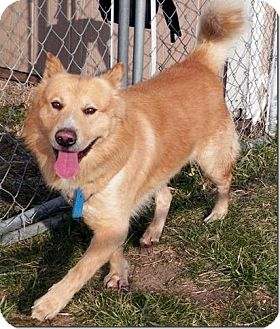 Akita/Chow Chow Mix Dog for adoption in Sullivan, Missouri - Shakespeare