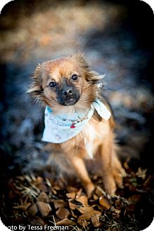 Chihuahua Mix Dog for adoption in Muldrow, Oklahoma - Shelby