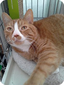 Domestic Shorthair Cat for adoption in Raritan, New Jersey - Garfield
