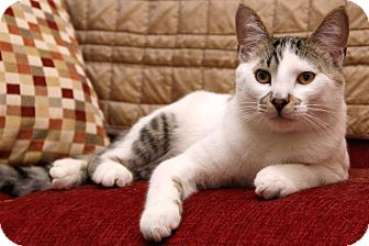 Colorpoint Shorthair Cat for adoption in Sterling Heights, Michigan - Piggy
