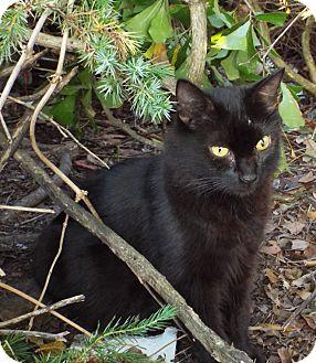 Domestic Longhair Cat for adoption in Smithfield, North Carolina - Grace