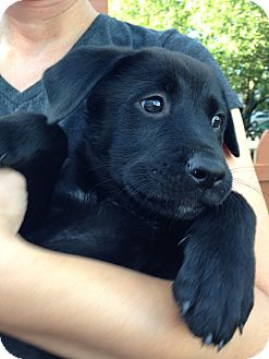 Siberian Husky/German Shepherd Dog Mix Puppy for adoption in Minneapolis, Minnesota - Juniper