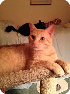 Domestic Shorthair Cat for adoption in Lombard, Illinois - Kramer