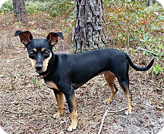 Miniature Pinscher Mix Dog for adoption in Forked River, New Jersey - Maddie