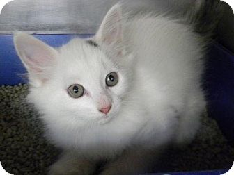 Domestic Mediumhair Kitten for adoption in Tyner, North Carolina - Fi-Ji