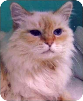 Domestic Mediumhair Cat for adoption in Rolling Hills Estates, California - Mac