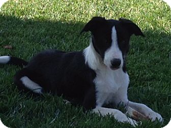 Border Collie/Australian Shepherd Mix Puppy for adoption in San Pedro, California - LUCY (Courtesy List)