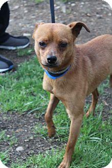 Feist Mix Dog for adoption in Waldorf, Maryland - Truman