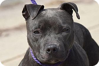 American Pit Bull Terrier Mix Dog for adoption in New Haven, Connecticut - JETT