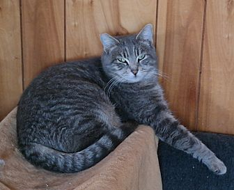 Domestic Shorthair Cat for adoption in San Pablo, California - HOPEY