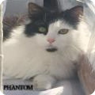 Maine Coon Cat for adoption in Great Neck, New York - PHANTOM