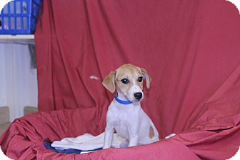 Jack Russell Terrier Mix Puppy for adoption in Waldorf, Maryland - Jazzy