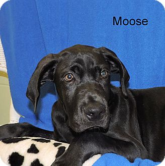 Great Dane/Weimaraner Mix Puppy for adoption in Slidell, Louisiana - Moose