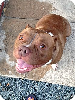 English Bulldog/American Staffordshire Terrier Mix Dog for adoption in Reisterstown, Maryland - Puma