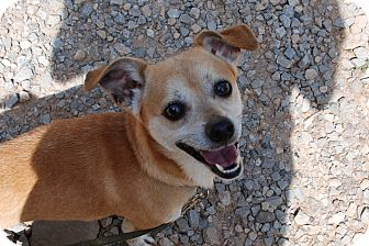 Dachshund/Chihuahua Mix Dog for adoption in Salem, West Virginia - Aboo