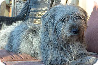 Tibetan Terrier Mix Dog for adoption in Denver, Colorado - Willow