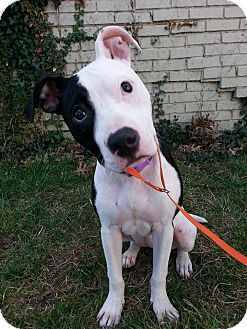 Pit Bull Terrier Puppy for adoption in Huntington, Indiana - Sage