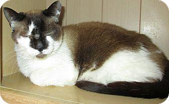 Siamese Cat for adoption in Gilbert, Arizona - Misty