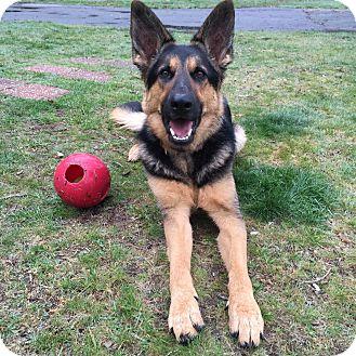 German Shepherd Dog Dog for adoption in Worcester, Massachusetts - RoxY