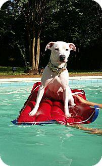 Labrador Retriever/Boxer Mix Dog for adoption in Parsippany, New Jersey - LYRIC